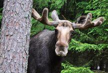 I Like moose