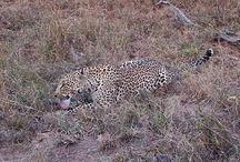 Salayexe (Female leopard)
