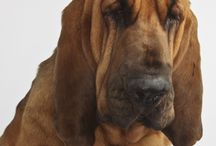 Dogs (bloodhound mostly)
