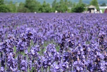Furano / Furano is a beautiful town with its ski and flower resorts. In summer, Furano is filled with beautiful lavenders and colorful patterns of flowers. In winter, Furano is covered with bright white colored dried powder snow, which is popular for the skiers and snowboarders.