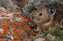 Pikas / The research connected to the curriculum.