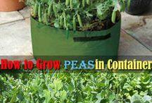 peas in pots