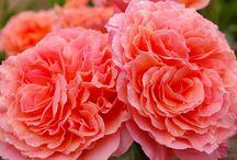 Rosen und Pflanzen