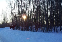 Alaskan Moose! / by Felecia Augustine