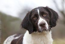 Drentse patrijs / Hele mooie Drentse patrijs honden