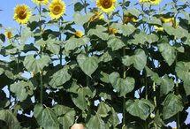 giant sun flower. America