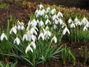 Первые весенние цветы - ПОДСНЕЖНИКИ - ПЕРВОЦВЕТЫ