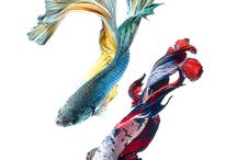 Siamese fishes
