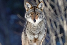 Creation: What does the Wolf Say!? / by Andy Poole