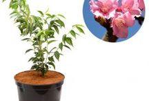 Pohon Bunga / Semua tanaman dalam board ini bisa dikirim keseluruh Indonesia, silahkan order ya, tel: 0341-599399 I SMS center: 08569020300 atau kunjungi website kami www.kebunbibit.id