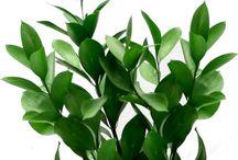 Kasvio leikkovihreät / floristiopiskelu -kasvio vihreät