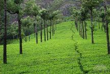 Tea plantations / by Margarita Morais
