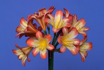 Utopia Clivias - My unusual Clivias / These are some of my favourite unusual clivias in my collection.