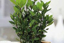 Vavrín - bobkový list