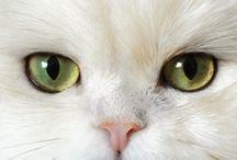 cats  γατες
