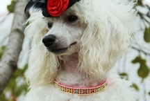 Poodle / International Dog's Personal Websites Catalogue