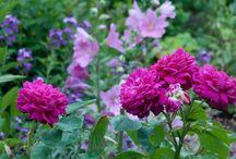 Gardening: Mauve&Pink colour schemes.