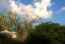 Stromboli Blossom / Aeolian Island Flora