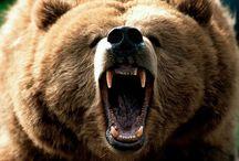 медведи,bear