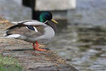 Duck - Ente