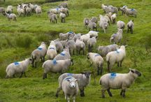Sheep / Sheep I have met, especially on my trips to Scotland and Røst, in Norway