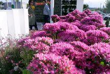 Co kwitnie jesienią? / Wszystkie rośliny opisane w artykule: http://ogrodniktomek.pl/2013/09/jesienne-kwiaty-w-ogrodzie/