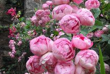 Buskrosor-klängrosor -rosor