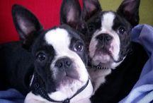 Boston Terror / Best dog in the world