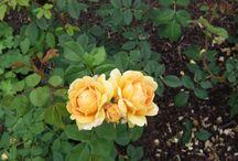 Couleurs rosiers / Les rosiers de mon jardin et ceux a venir