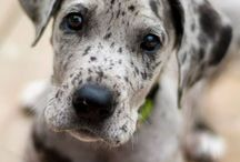 Dog | Great Dane