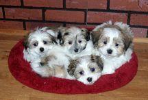 Mal-Shi puppies!!!