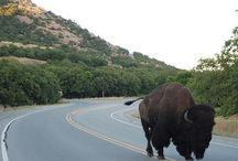 Bison,buffalo / by Joan Gunter Lee
