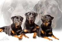 Rottweiler / Dogs & More