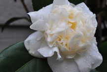 Camellia japonica Snowball