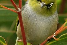 birds of Australia / Birds of Australia