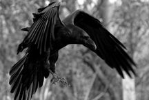 Does wisdom perhaps appear on the earth as a raven which is inspired by the smell of carrion? / by Judi Brj