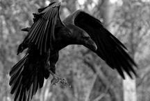 Kangee (Raven)