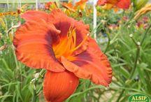 Perennials for Attracting Butterflies