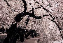 Cerry blossom