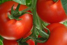 Doe Run Farms Tomatoes  / Are you a tomato lover? Want more tomatoes in your share? Learn more about Doe Run Farms unique extra tomatoes in you box. Click here for more details http://doerunfarms.com/food-lovers-shares/
