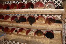 poules et poulailler