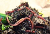 Vermicomposting / composting with worms