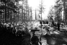 Reindeer life