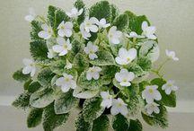 streptocarpus reproduccion
