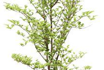 Drzewa PNG