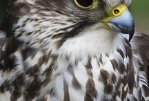 Raptors / Birds of Prey