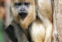 Monkeys Chimpanzee Orangutan Gorillaz Apes