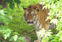 Tiger / Como Zoo's Tigers
