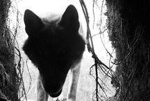 Shadows of Norwegian wolfs
