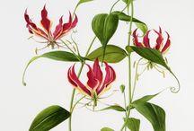 Flora Drawings